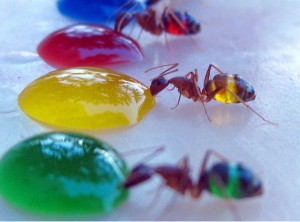 ants colored sugar